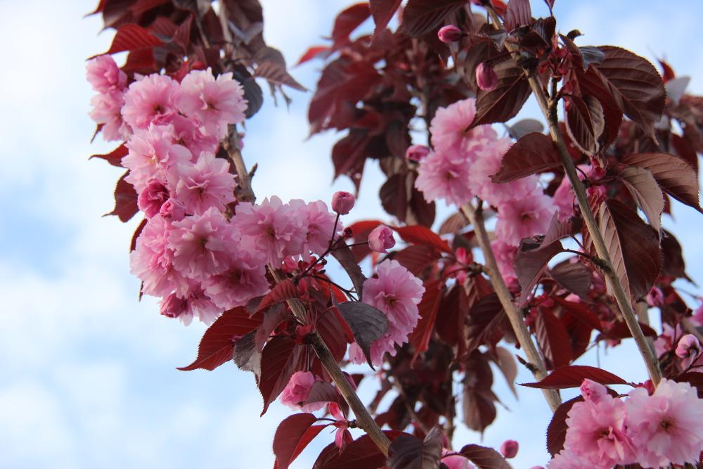 monday cherry