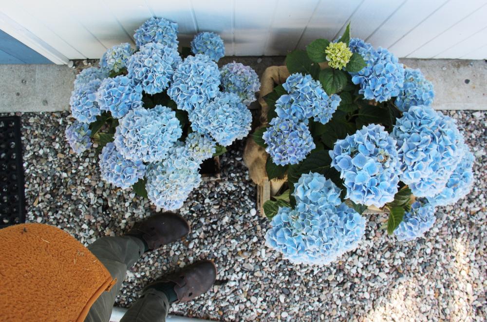 blue hortencia